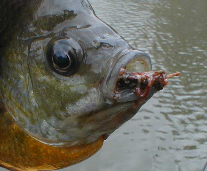 Do bluegill eat bloodworms ngto message board for What do fish eat
