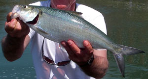 Skipjack herring on the fly...